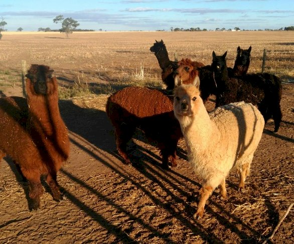 WANTED Alpacas for breeding