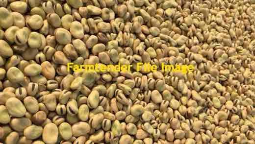60 m/t Samira Faba Beans