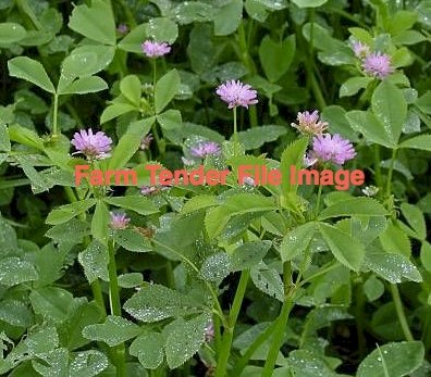 Shaftal Clover Seed