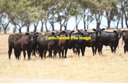 WANTED 5 x Angus PTIC Heifers w calve at foot