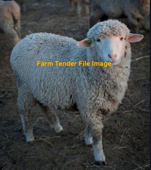 Scanned in Lamb Merino Hoggets x 50