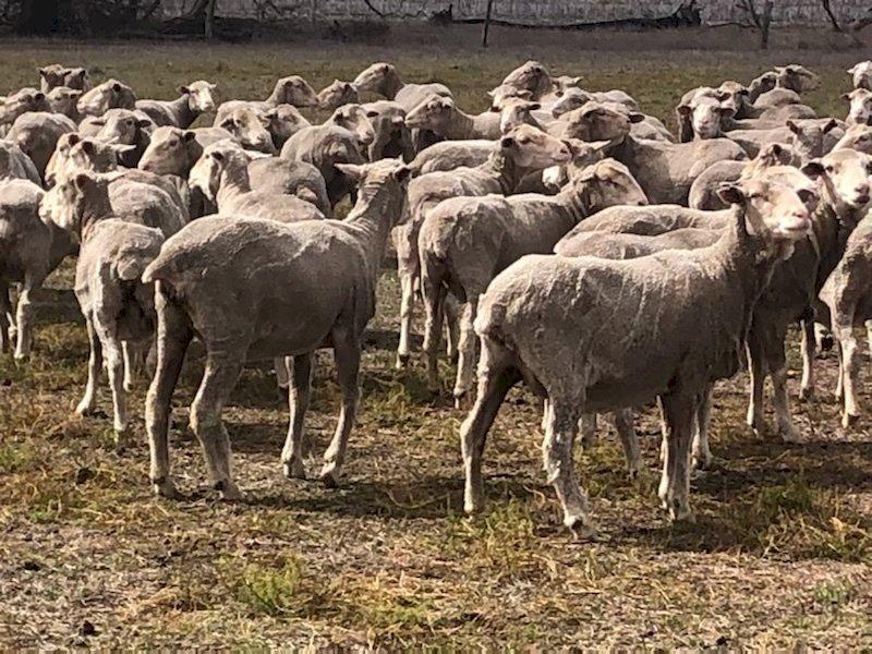 650 SIL Glendemar Multi Purpose Merino Ewes