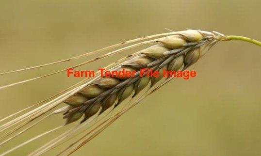 15mt Barley Seed