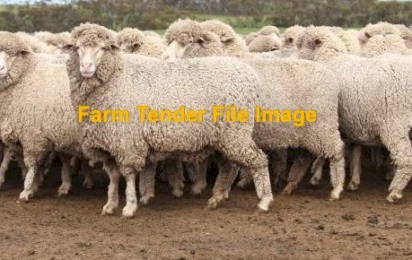 Mixed aged SIL Merino Ewes