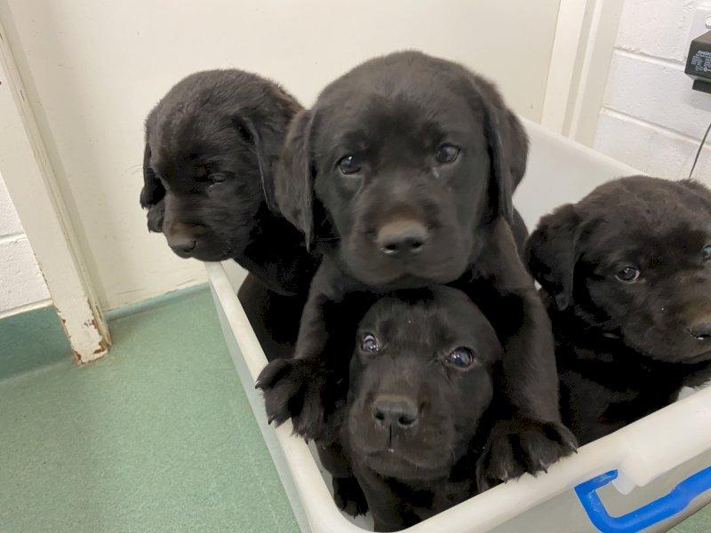 Purebred Labrador Puppies