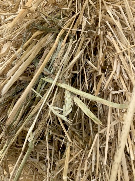 300mt Awnless Barley Hay