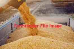 Feed Corn Off The Header