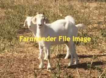 WANTED -  Full Blood Boer Goats