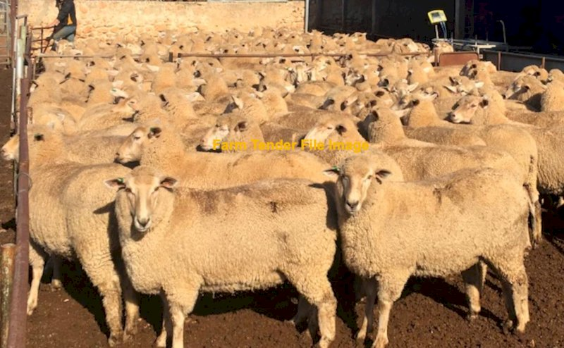 WANTED Dry or Wet First Cross Ewes