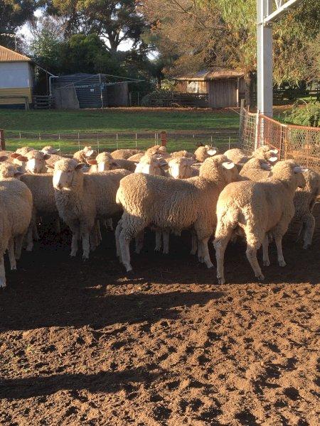 82 Border Leicester Merino Ewe Lambs SIL