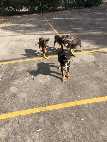 Pure Bred Kelpie Pups (2 Males)