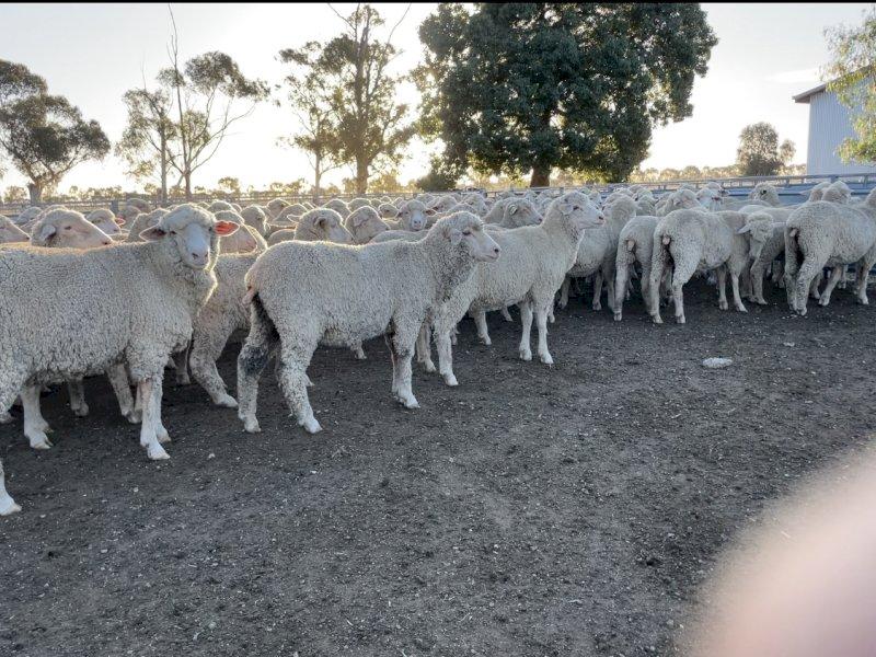 620 Merino Ewe Lambs