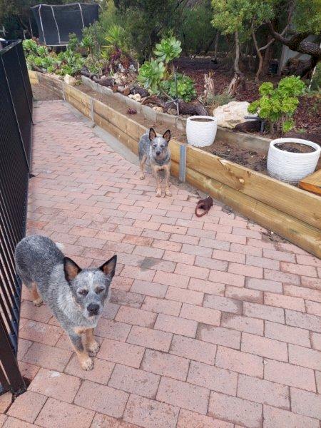 2 x Blue Heeler Pups