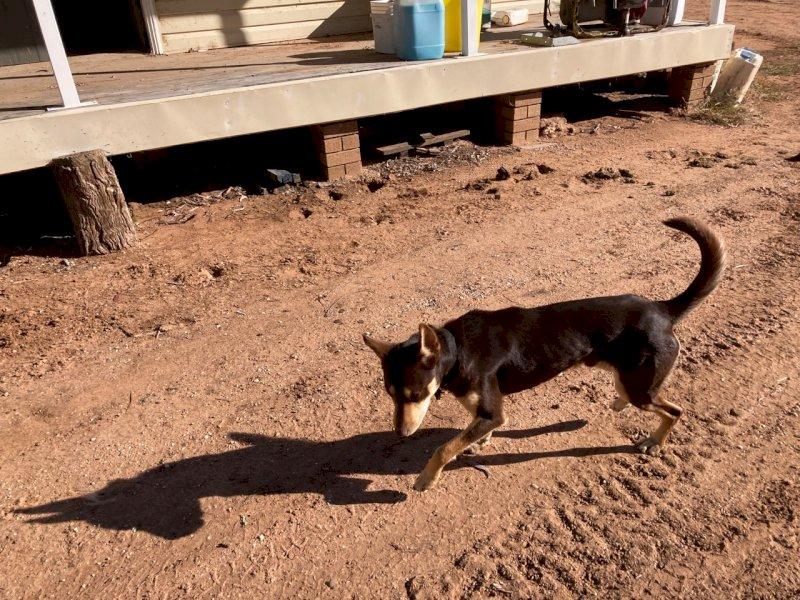 17 month old Kelpie Working Dog
