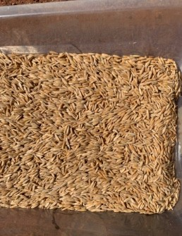 Brusher Oat Seed (Cleaned)