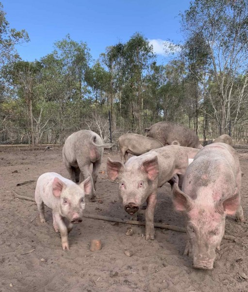 Free Range Weaners, Pregnant Gilts and Sows