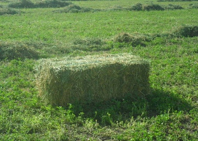 Lucerne Hay - Small Squares - Fresh Cut - In Shed - 300 avail