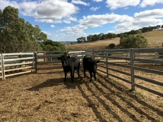 Two angus heifers