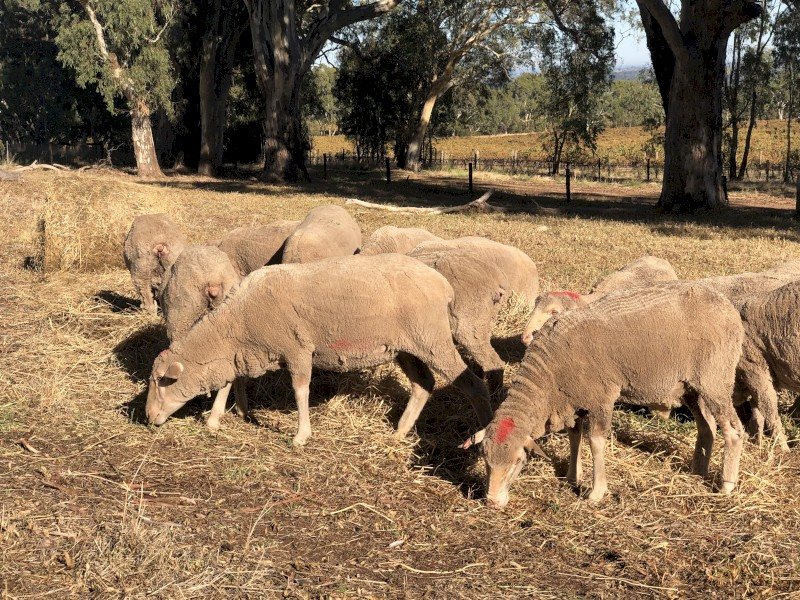 27x Merino ewes 1.5 year old.