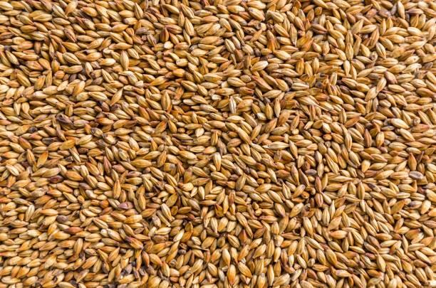 Barley HINDMARSH 15 MT