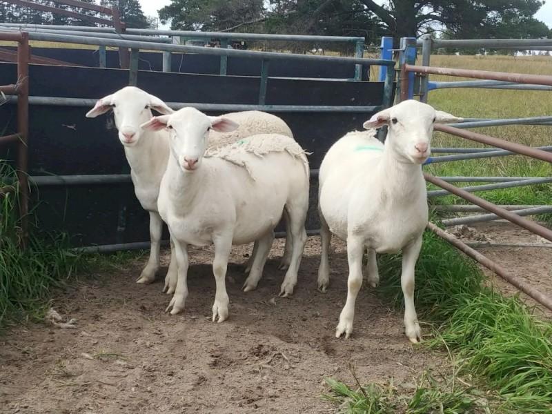 White Dorper Ewe Lambs
