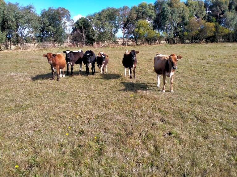 Backline Cross Bred Heifer & Steers (Similar to Speckle Park)
