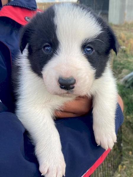 Australian Shepherd X Border collie pups