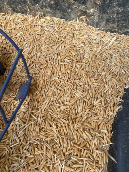 Yarran Oats available for seed