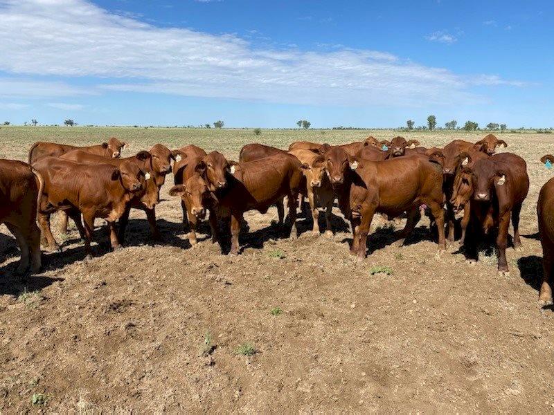 120 Droughtmaster Heifers