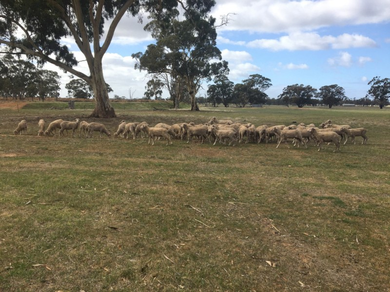 Merino Wethers highly productive