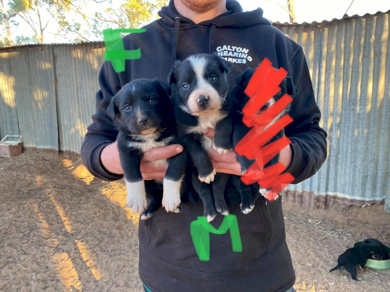 Working Puppies For Sale