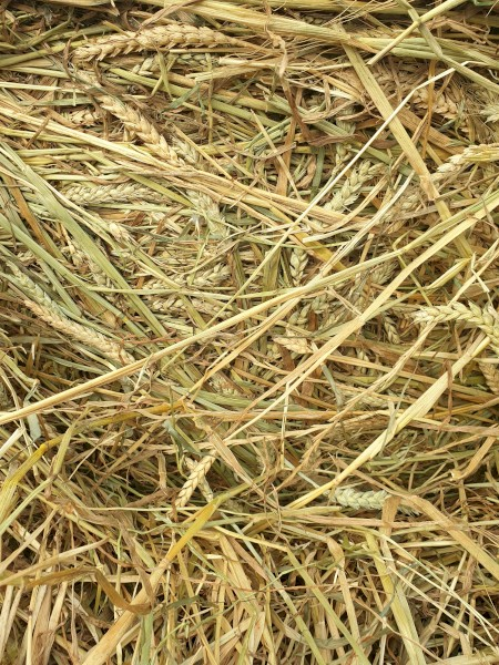 2020 season Red Wheat Hay Rolls