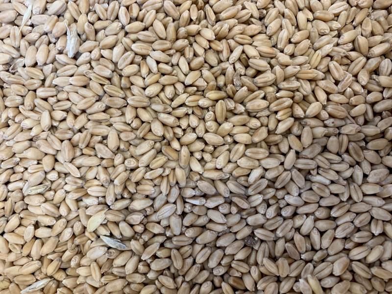 Sunlamb Wheat Seed