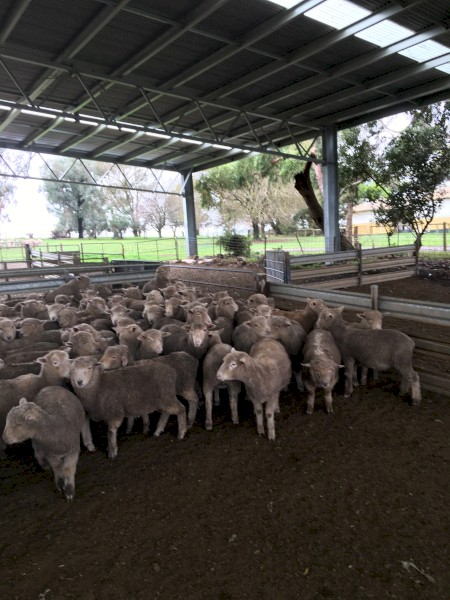 140 Southdown and Composite Lambs, Mixed sex