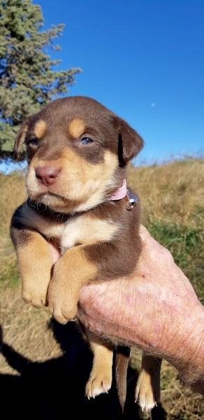Kelpie Pups Pure Breed x 5