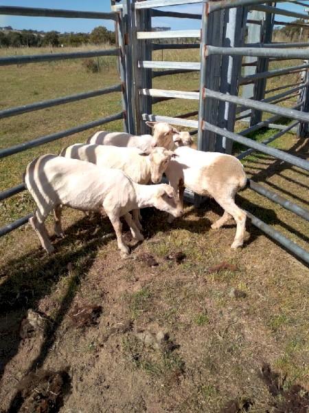 6 White Suffolk X Merino Ewes