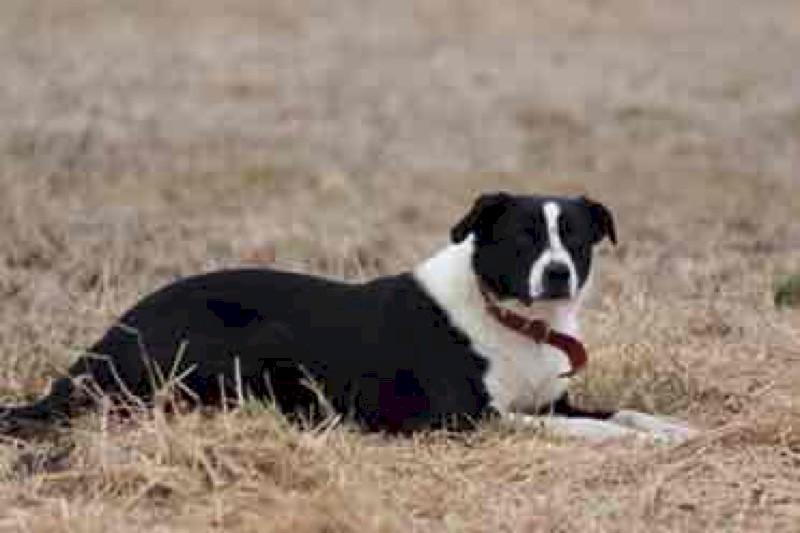 4 x Border Collie X Kelpie Pups
