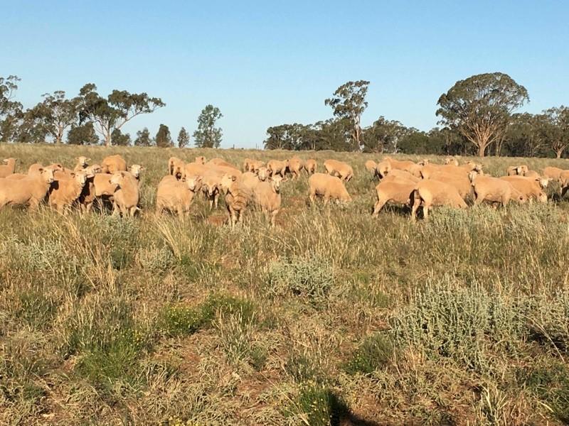 EOI: Future Breeder FX Ewe Lambs