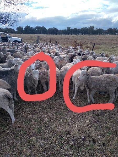 180 Merino Wether Lambs