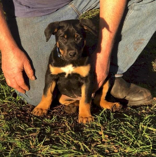 Black & Tan Kelpie Pups (2 Males)