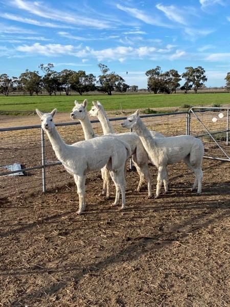 5 Alpacas for sale